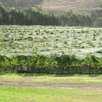 Nets over vines or Netting in Vineyards