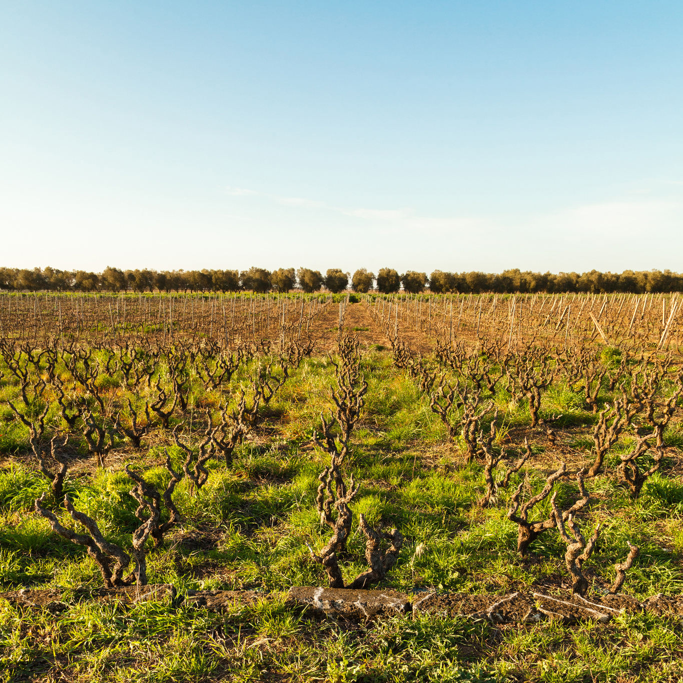 Puglia wine country vineyards by Giorgio Guerrieri