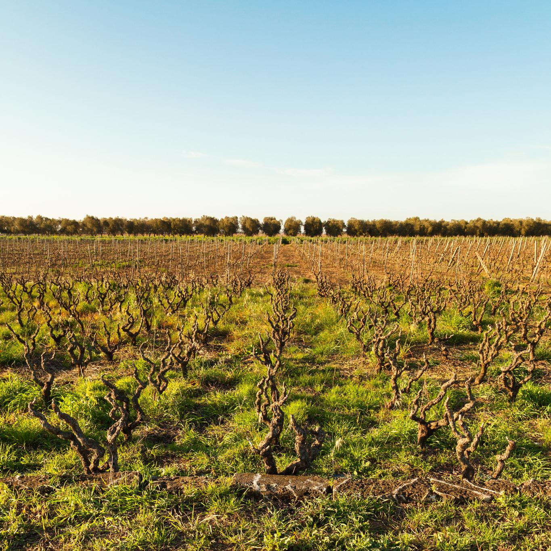 Puglia wine country vineyards by Giorgio Guerrieri