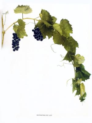 Vitis rupestris - rupestris du lot - rare French Hybrid grape