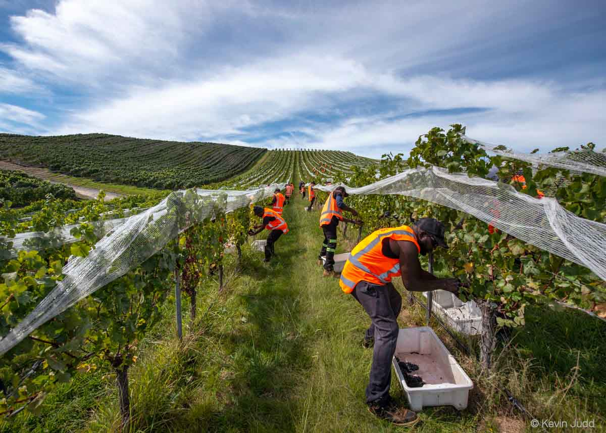 Workers in Marlborough collect Pinot Noir grapes