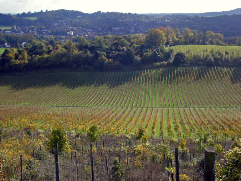 Denbies Vineyard is the largest in the region. by Diamond G.