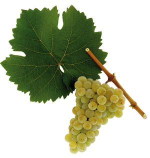 Riesling grapes courtesy austria wine