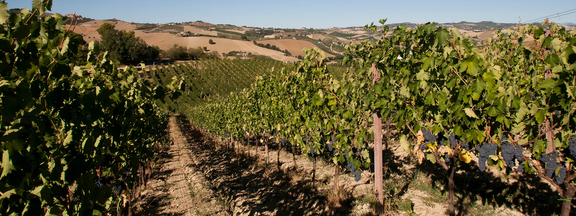 Looking into the vineyards in the Offida Rosso DOC region of Marche