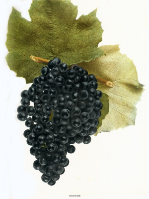 Vitis aestivalis Norton wine grape illustration native wine grapes