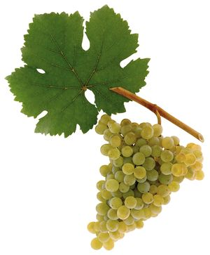 Grüner Veltliner wine grapes courtesy austria wine