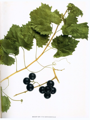 Vitis rotundifolia muscadine grape illustration scuppernong