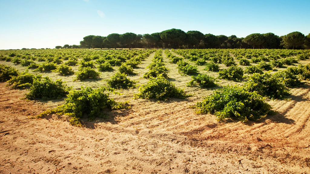 Many of Rueda's vines are farmed as bush vines.  Notice the pine nut trees in the background.   Vineyards at Garciarevalo