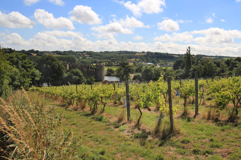 Sedlescombe vineyard (England's first organic–now biodynamic–vineyard) looking towards Bodiam Castle  Steve Gardner