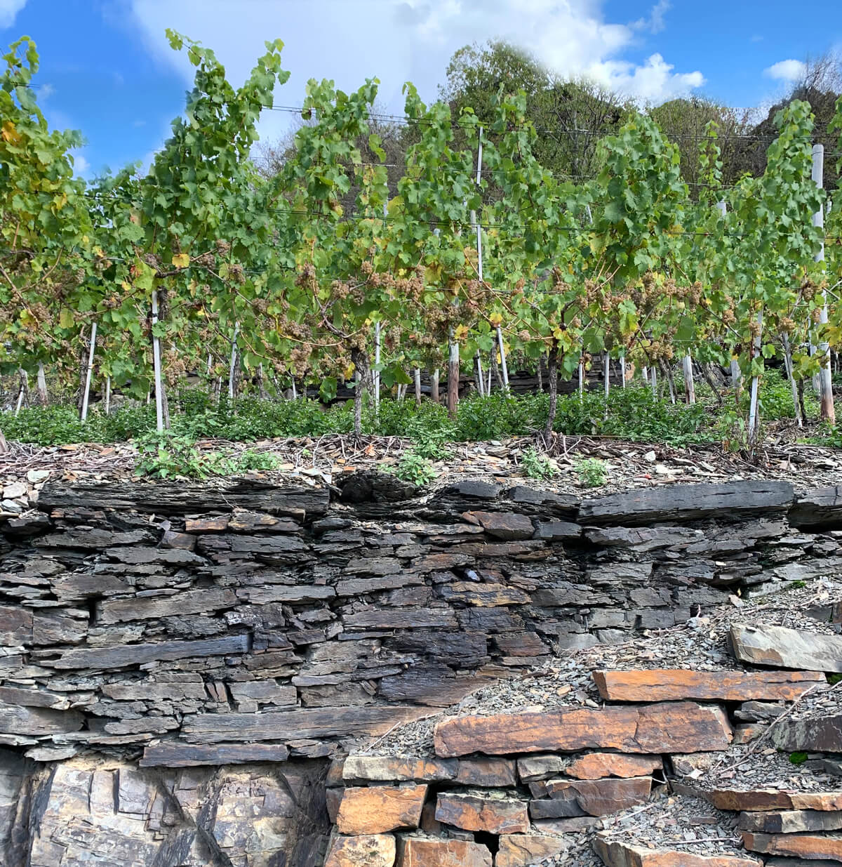 Ahr Valley - Pinot Blanc vineyard with slate soils Germany
