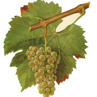 Altesse Wine Grape of Savoie