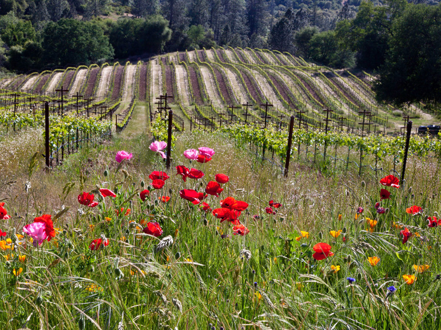 Amador-vineyards-sierra-foothills-david-schroeder