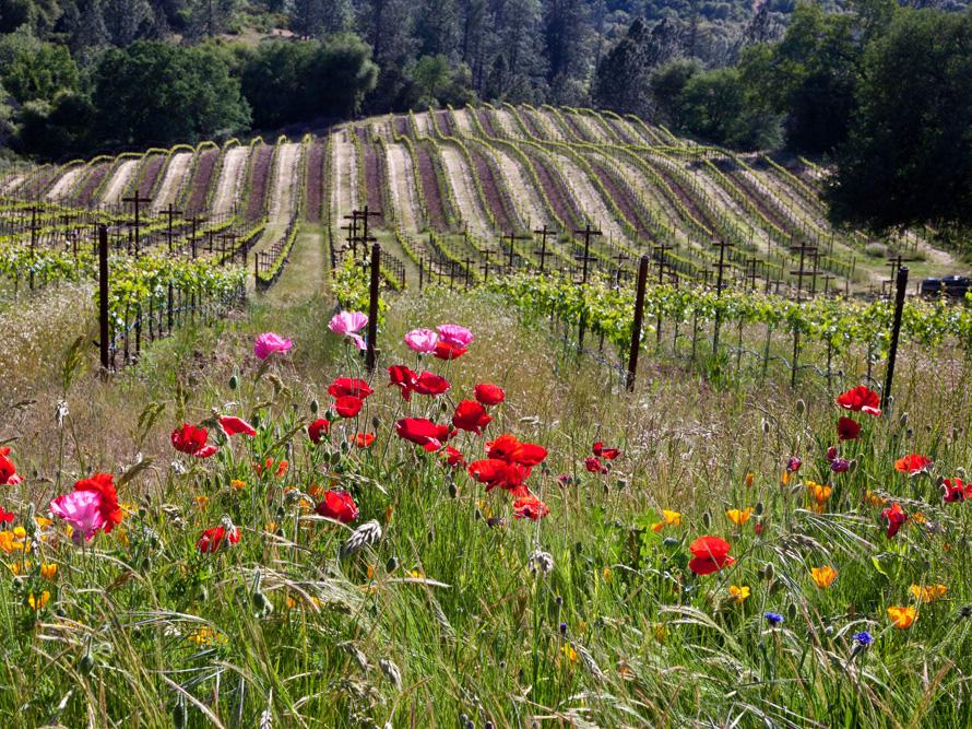 Amador-vineyards-sierra-foothills-david-schroeder