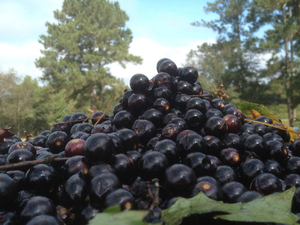 scuppernong grapes, red muscadine wine grapes with ellagic acid