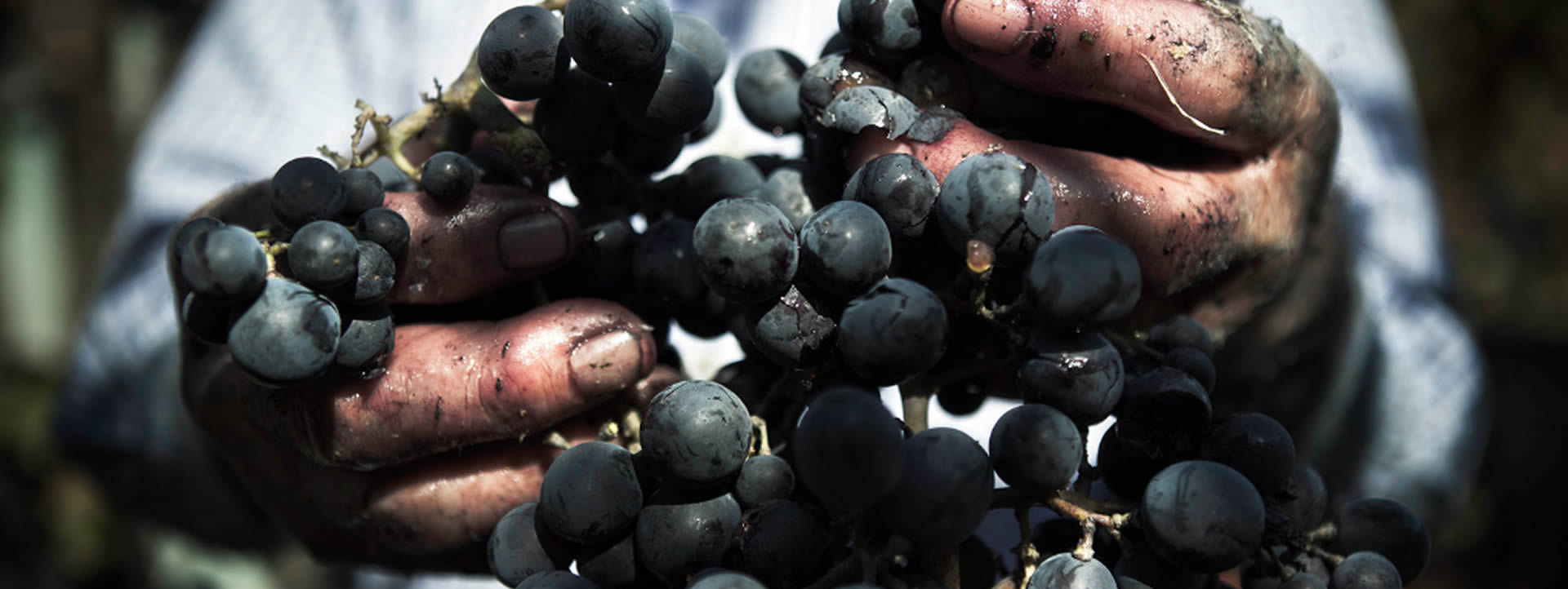 Montepulciano Grapes from Offida Rosso DOC in Marche Italy