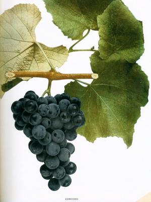 Vitis labrusca - Concord Grape - illustration