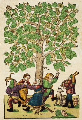 Hieronymus Bock (1498-1554)  German botanist. His 1546  herbal had 550 woodcuts by David Kandel. Lime Tree
