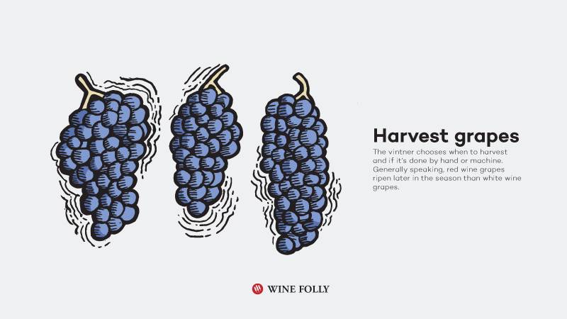 How-Red-Wine-Is-Made-harvest