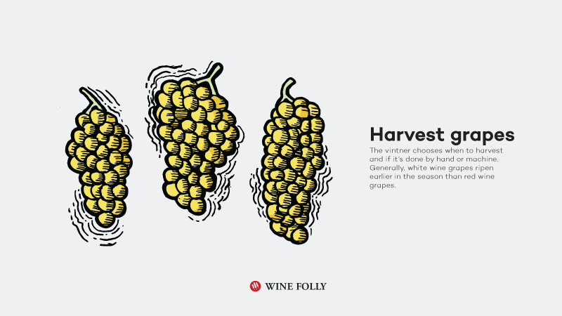 How-White-Wine-Is-Made-harvest-grapes