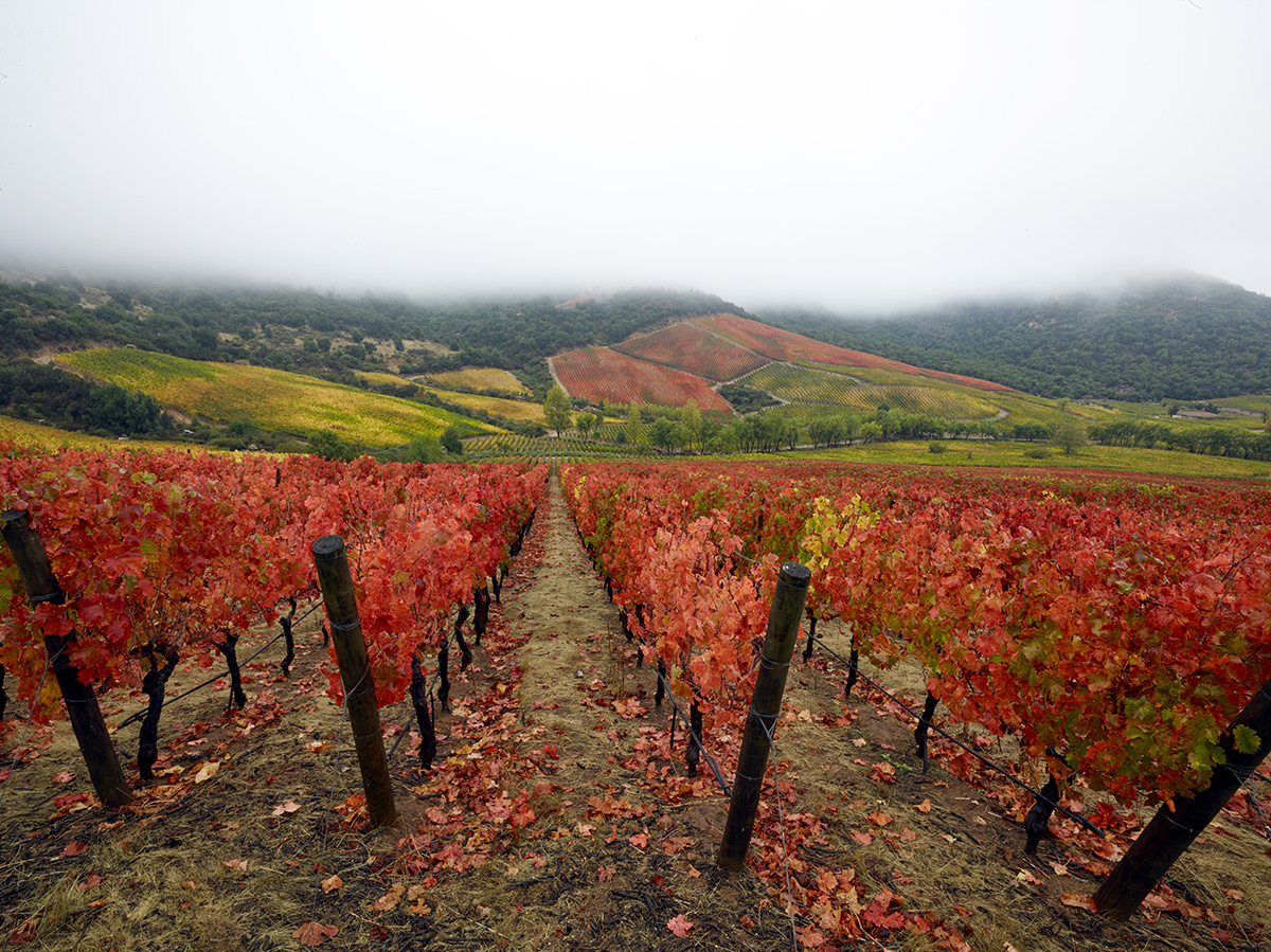 Carménère turns bright red in the fall. This was taken at Lapostolles vineyards in Apalta, Colchagua. Photo by Matt Wilson
