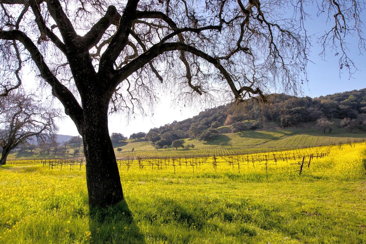 napa-vineyard-spring-tucker-hammerstrom
