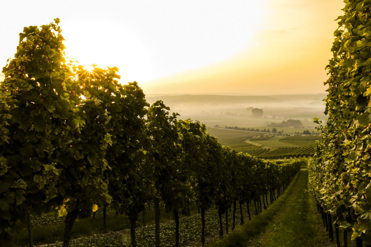 A vineyard during sunrise. Photo by Sven Wilhelm.