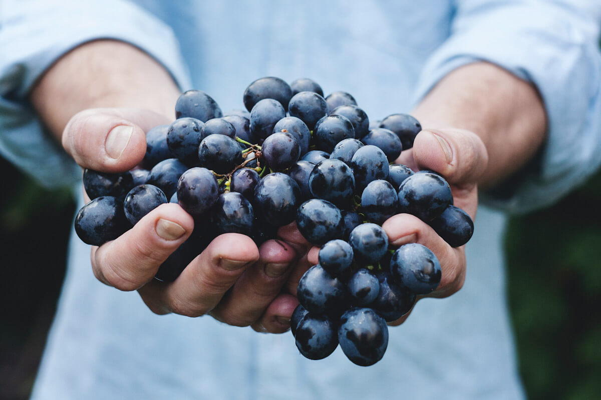 Hands holding a bunch of red grapes. Photo by M. Petric.