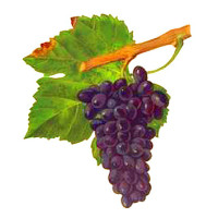 Persan red wine grape of Savoie