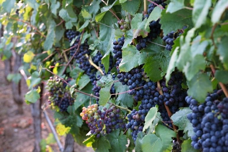 Petit-Verdot-Wine-Grapes-Jordan-Winery-Sonoma