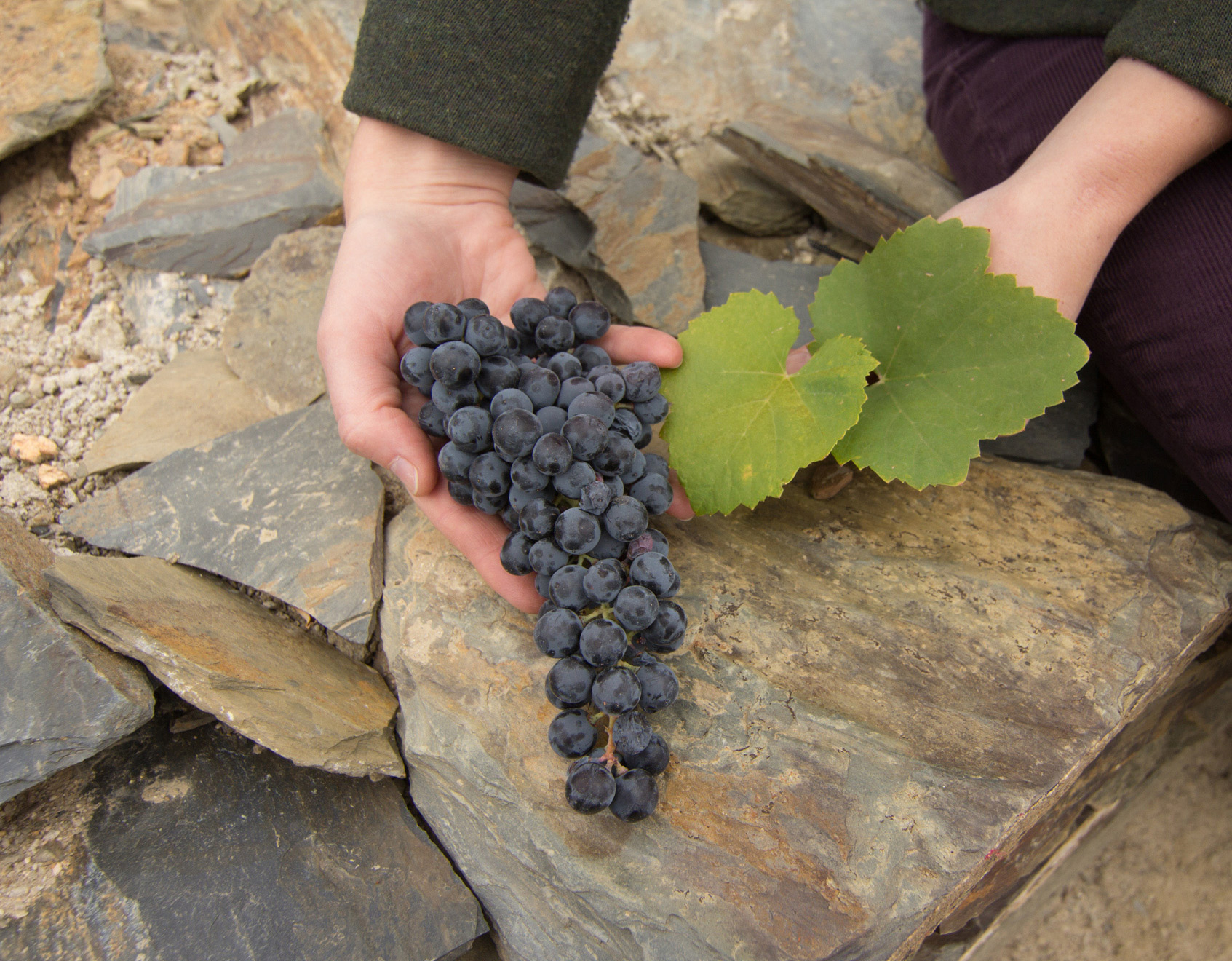 A precious bunch of Touriga Nacional picked from the drought-ridden 2012 vintage at Quinta de Granja in the Douro Superior.