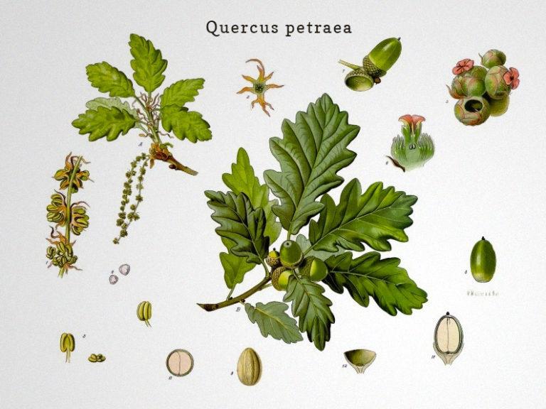 Quercus-petraea-european-oak-for-wine