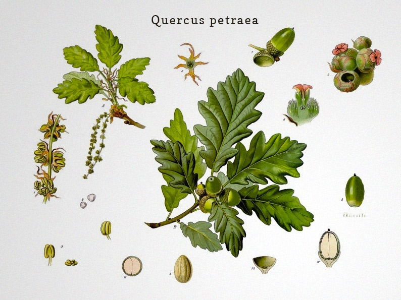 Quercus-petraea-european-oak-for-wine