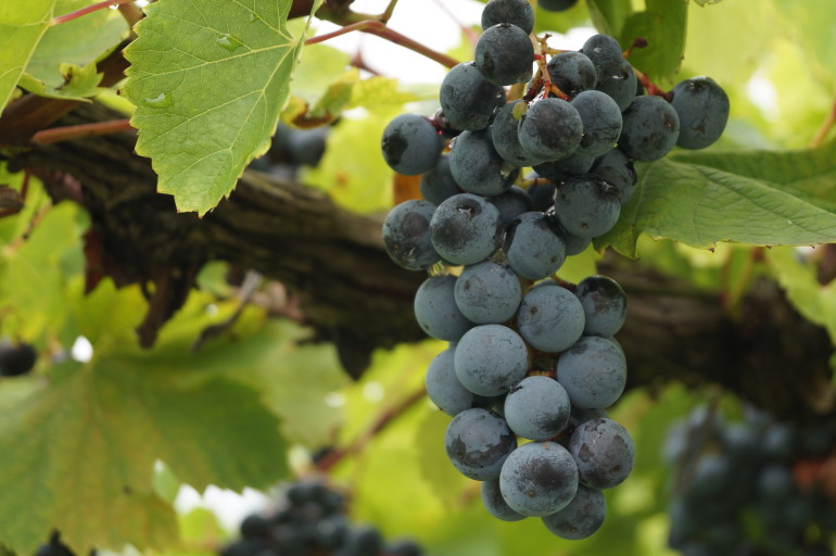 Red Wine Grapes Hermann Missouri AVA