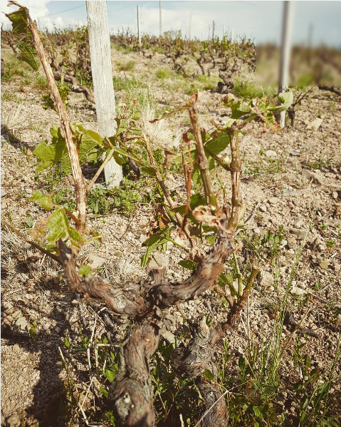 Hail storms in Chiroubles, Beaujolais in 2016 damaged the crop