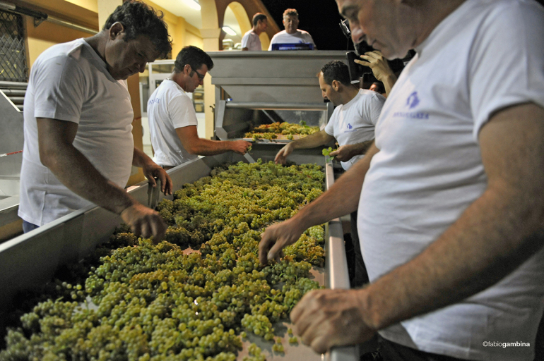 Sorting-Table-Chardonnay-Night-Harvest-Sicily-Donnafugata