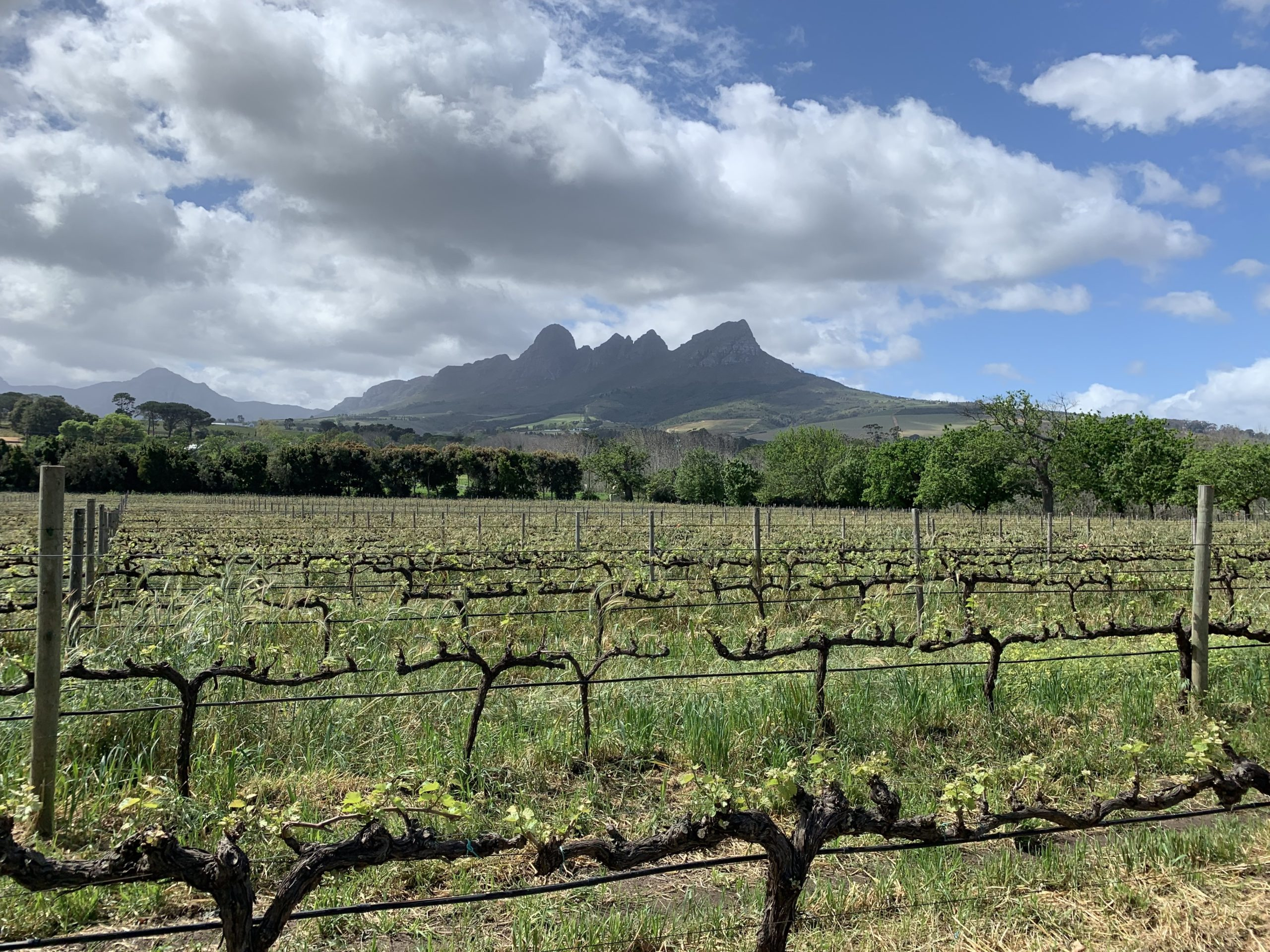A vineyard in the Stellenbosch wine region of South Africa