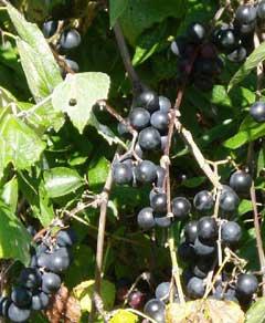 Mustang Grape. Robin R. Buckallew @ USDA-NRCS PLANTS Database