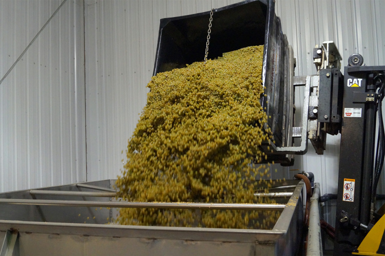 White Wine grapes being put into the grape crusher