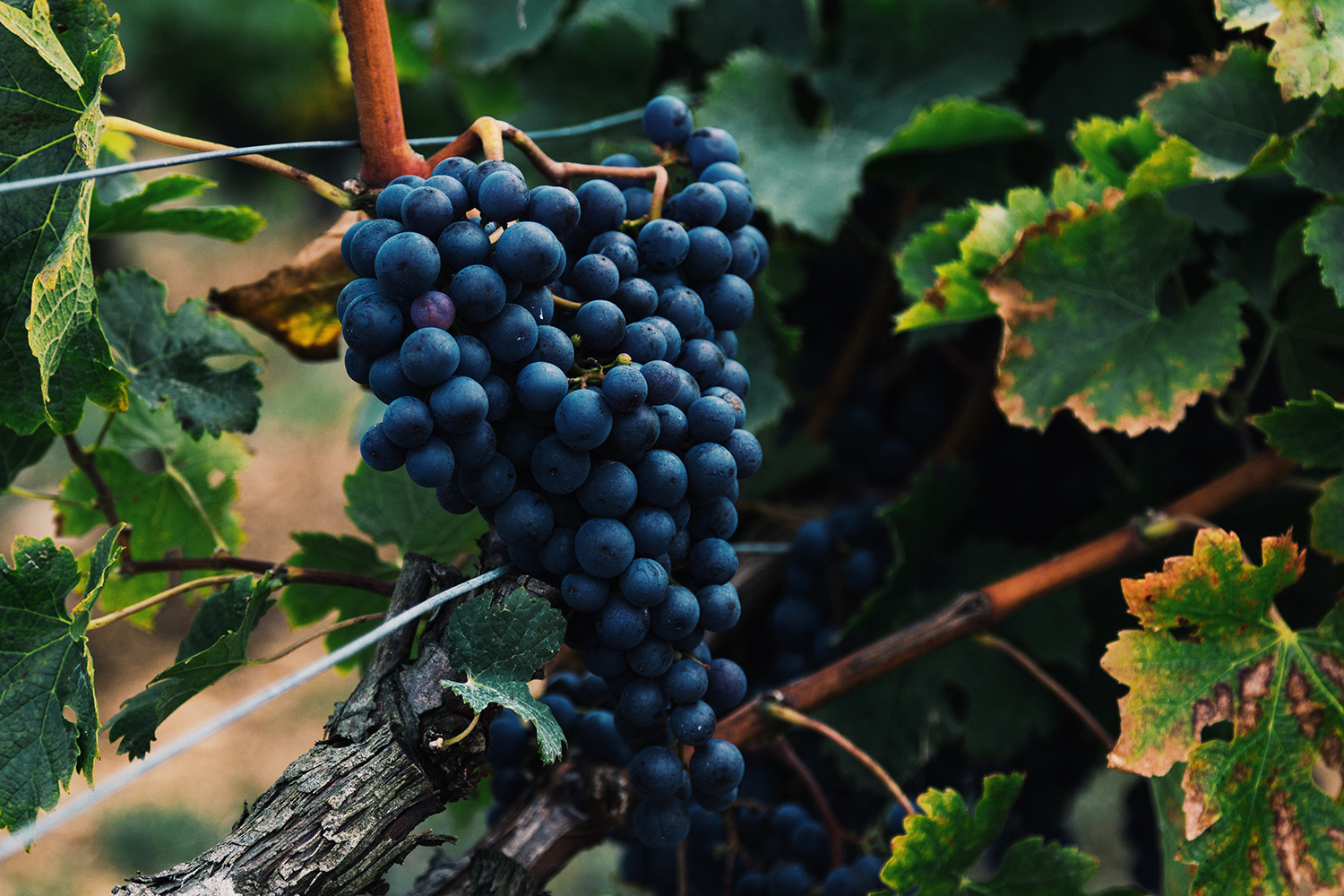 Ripe Cabernet grapes in Nouvelle-Aquitaine, France. by Alasdair Elmes