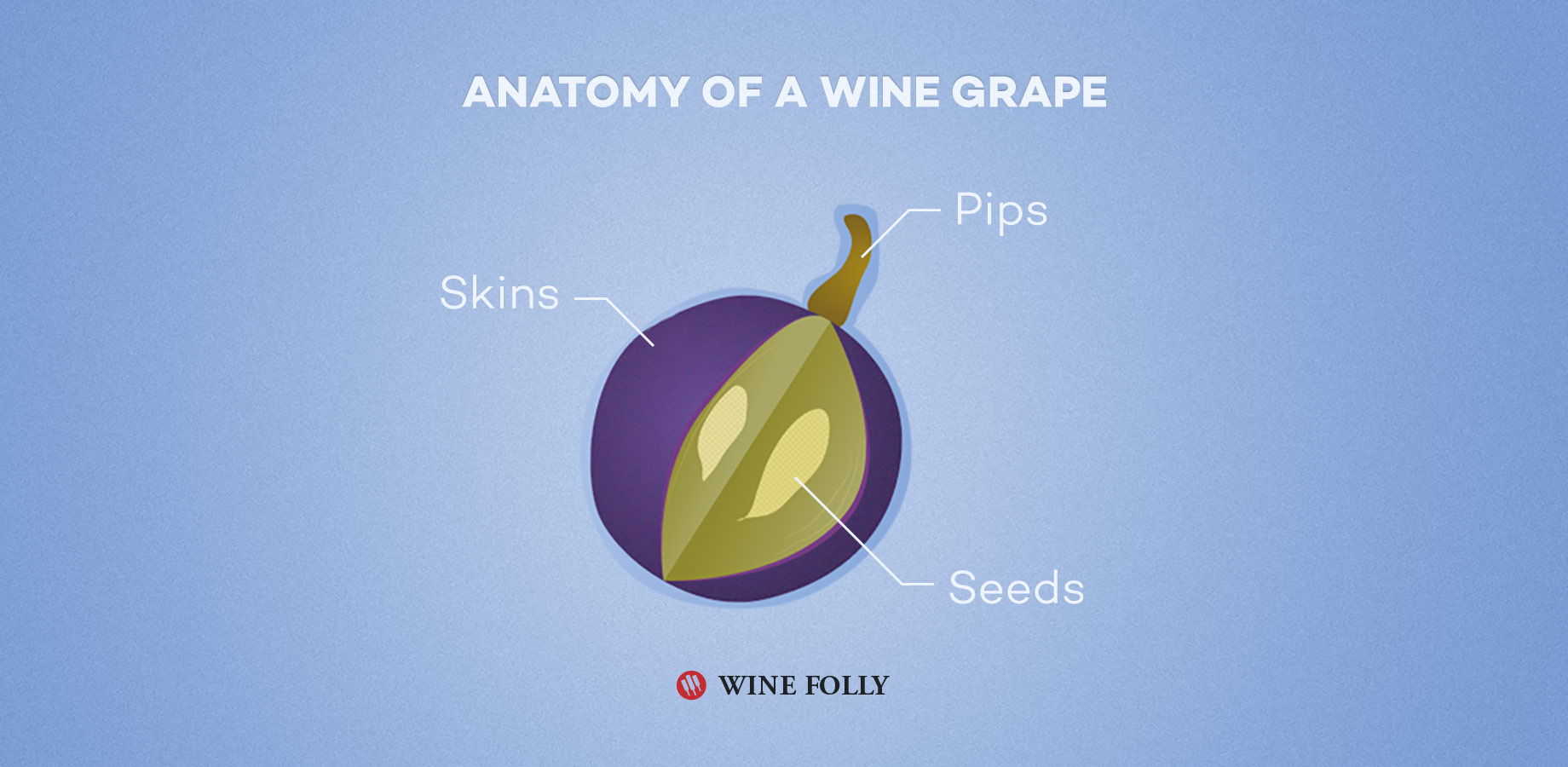 Anatomy of a wine grape - illustration by Wine Folly