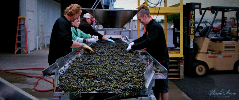 Pinot Noir Sorting Table Oregon Harvest Anne Amie Vineyards