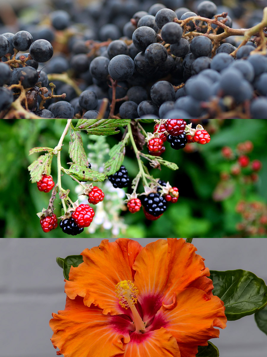 anthocyanin-in-grapes-blackberries-hibiscus