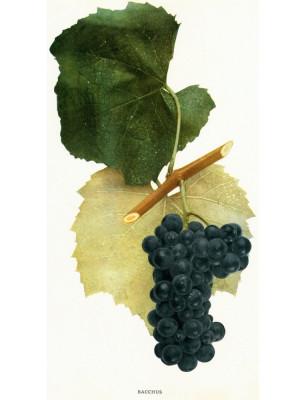 Bacchus Wine Grape Illustration Vitis riparia native American