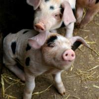 Barnyard Pig Aroma