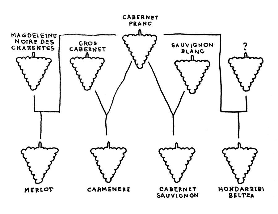 cabernet-sauvignon-family-tree