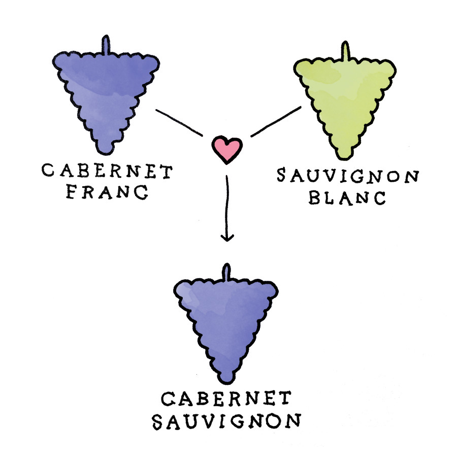 Cabernet Sauvignon Parentage - grapes illustration by Wine Folly