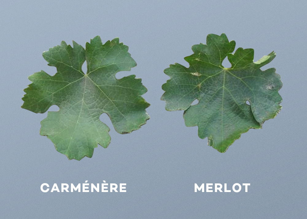 carmenere-merlot-leaf