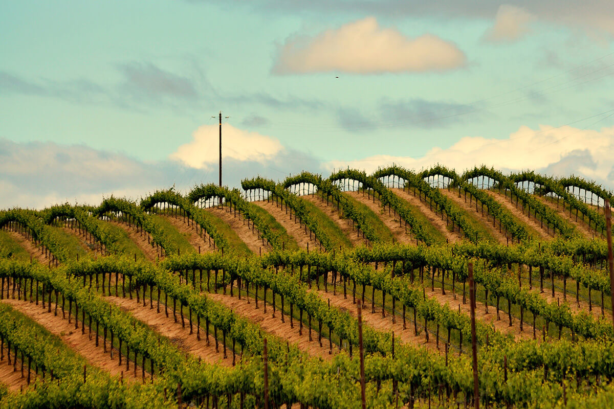 A vineyard in Chalone, California.