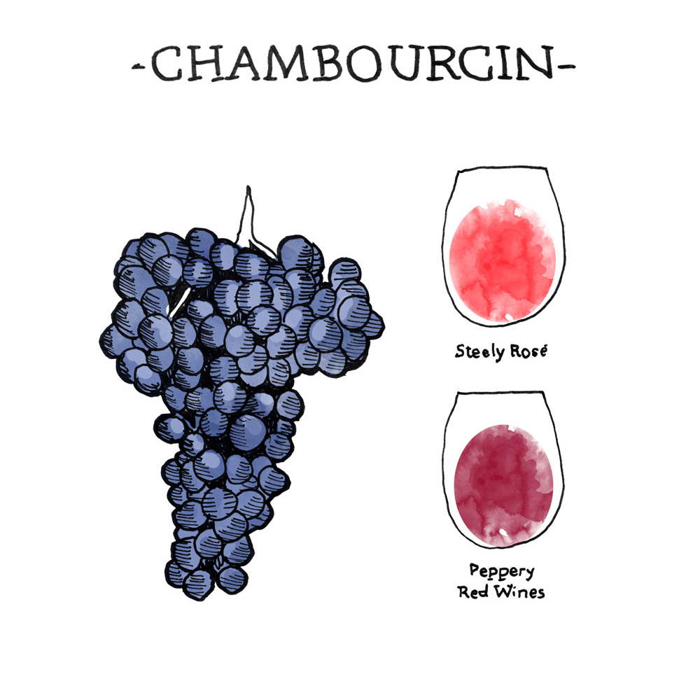 Wine Folly illustration of Chambourcin Wine Grapes