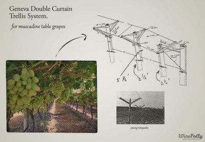 double-curtain-table-grape-trellising-systems